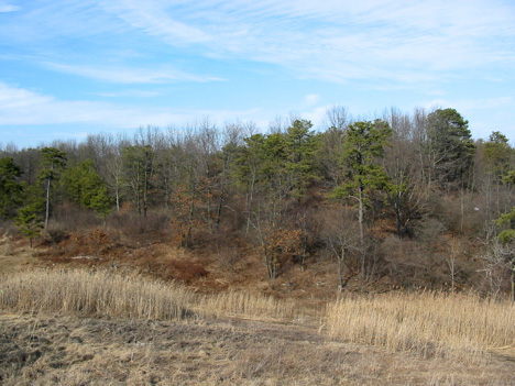 Condemned Pine Bush In Early Spring, As Seen From The Last Dump Expansion