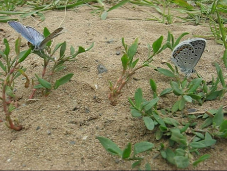 Increasingly Rare Karner Blue Butterflies {Photo Grace Nichols