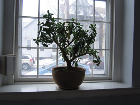 A Famous FUUSA Jade Plant In The Old Sanctuary