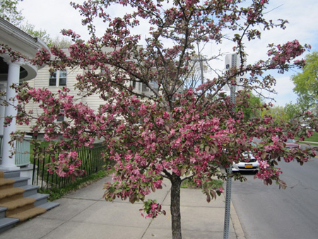 Apple Blossoms Blooming At The South Swan And Morton Avenue Bus Stop, April 2012