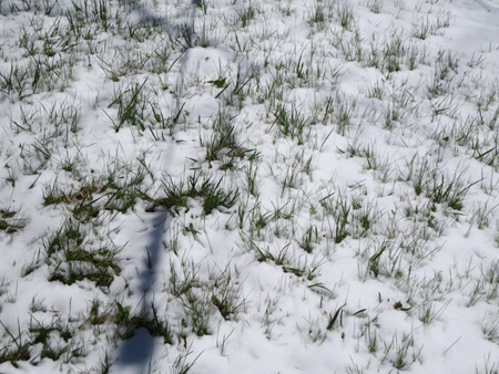 Growing Grass And Melting Snow