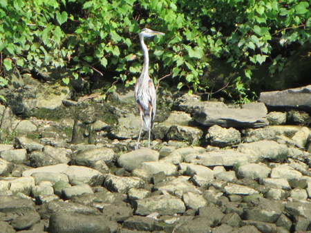 Raw Sewage From The Big C Also Affects Wildlife: A Young Blue Heron Hanging Out A Short Ways Downstream From The Big C