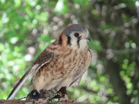 American Kestrel, A Type Of Falcon