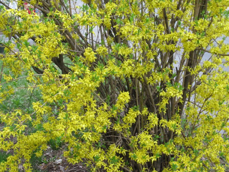 Forsythia Bush Almost Played Out By Early May