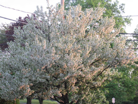 Blooming Ornamental Apple Tree Shortly After Dawn