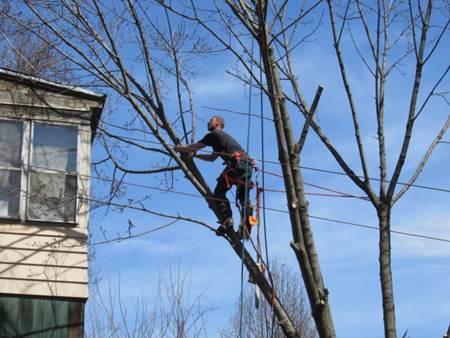 Cutting Down A Dying Tree In My Neighborhood, April 2017