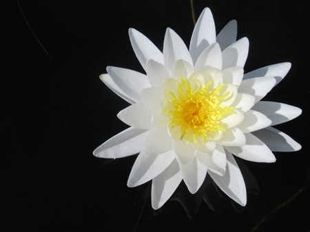 White Water Lily Flower… How Did I Take Such A Great Photo