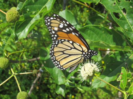 Monarch Butterfly, Great Sacandaga