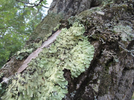Lichen On A Tree, Great Sacandaga
