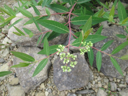 Flowering Plant On A Rocky Shore, Great Sacandaga