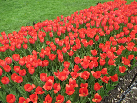 City Of Vancouver Single Late Tulips