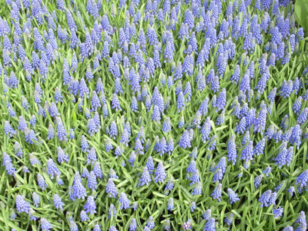 Muscari Armeniacum Hyacinth