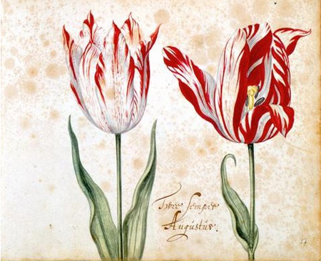 Legendary Semper Augustus Tulip, Illustration From The 1630s
