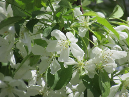 Springtime Apple Blossoms On Morton Avenue Last April